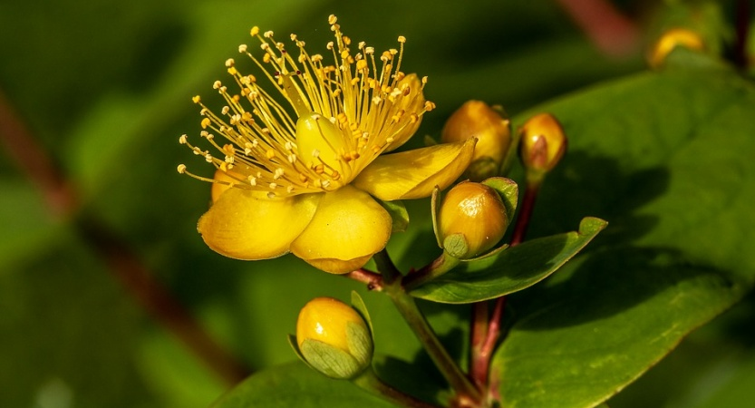 Read more about the article St John's Wort